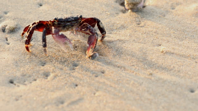 crab slowly walking over the sand - crab stock videos & royalty-free footage