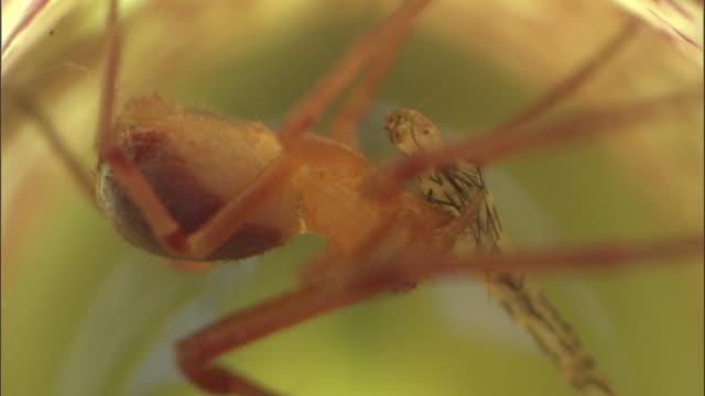 vídeos y material grabado en eventos de stock de crab spider (misumenops nepenthicola) eats mosquito larva in pitcher plant, borneo - planta pitcher