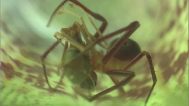 vídeos y material grabado en eventos de stock de crab spider (misumenops nepenthicola) feeds on ant inside pitcher plant urn, borneo - planta pitcher