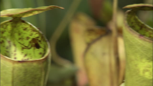 crab spider (misumenops nepenthicola) in pitcher plant urn, borneo - insectivore stock videos & royalty-free footage