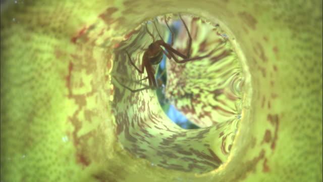 vídeos y material grabado en eventos de stock de crab spider (misumenops nepenthicola) in pitcher plant urn, borneo - planta pitcher