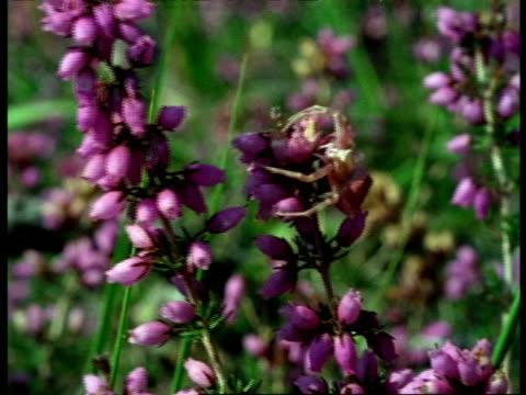 crab spider (thomisus) on flowers, england - weichzeichner stock-videos und b-roll-filmmaterial