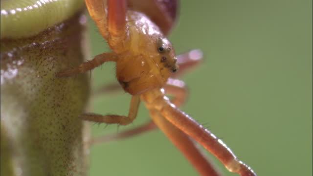vídeos y material grabado en eventos de stock de crab spider (misumenops nepenthicola) on pitcher plant urn, borneo - planta pitcher