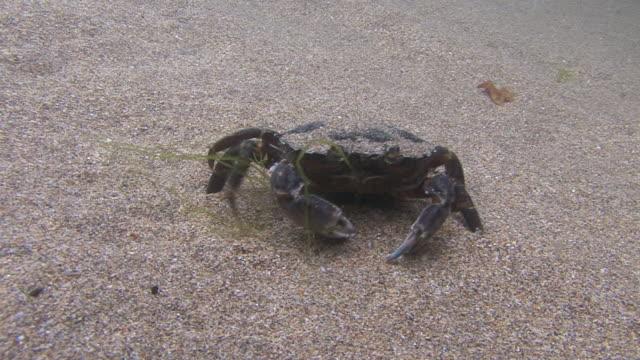 crab - gezeitentümpel stock-videos und b-roll-filmmaterial