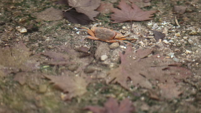 crab walking in the river stock video - crustacean stock videos & royalty-free footage