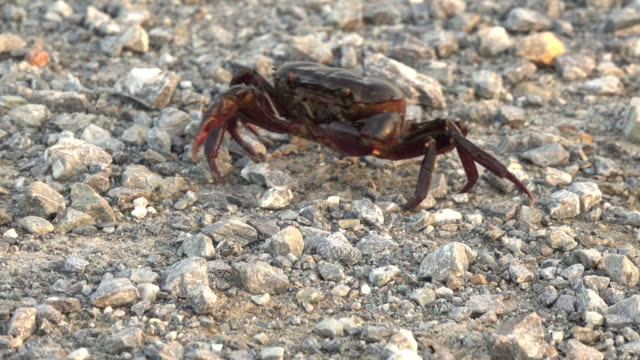 Crab walking on the dirt