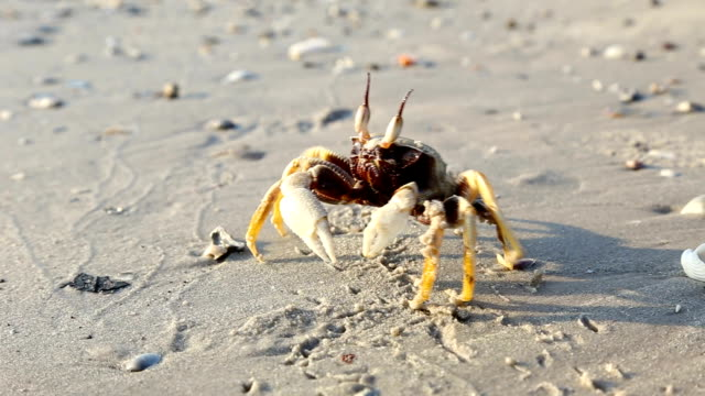 Crab walking on the sand sea beach