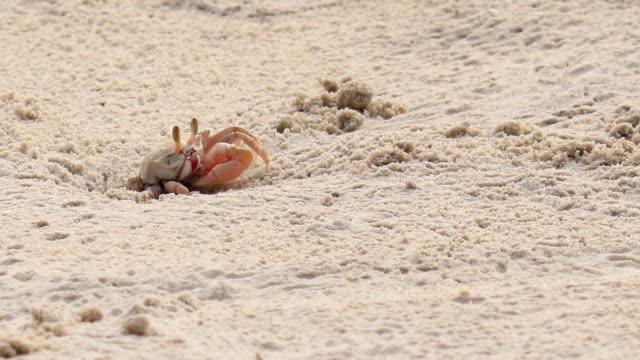 crab arbeiten, crab dig burrow am tropisches beach - krabbe stock-videos und b-roll-filmmaterial