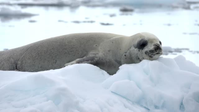 stockvideo's en b-roll-footage met crabeater zegel ijs gevuld neko harbor andvord bay antarctica - zeehond