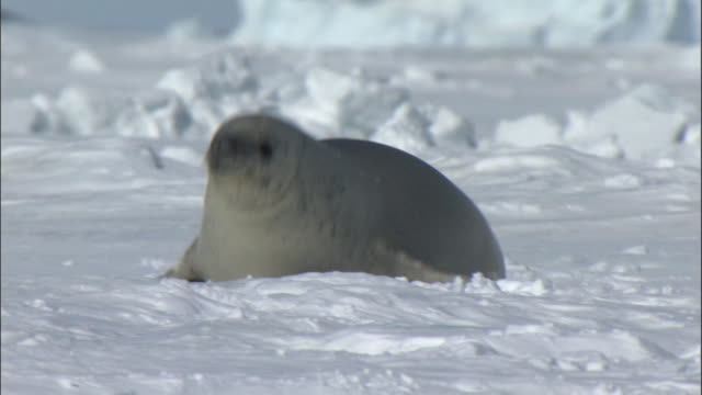 ws pan crabeater seal (lobodon carcinophagus) in snow / snow hill island, antarctic peninsula, antarctica - seals stock videos and b-roll footage