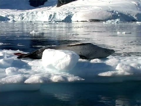 cu crabeater seal, lobodon carcinophagus, lying on ice, zoom out to ms, antarctic peninsula - antarctic peninsula stock videos & royalty-free footage
