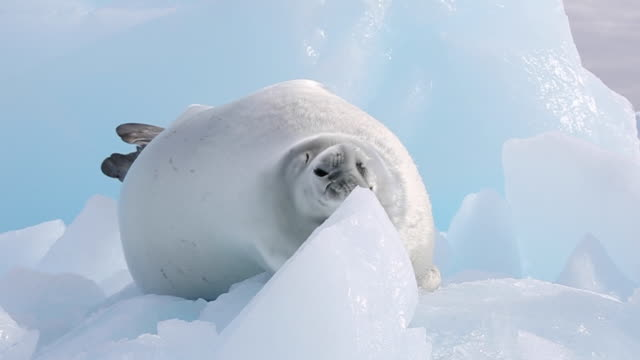 Crabeater Seal lying on blue iceberg, looking around