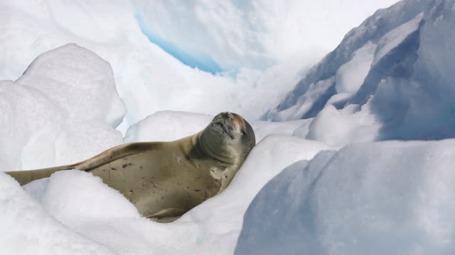 crabeater seal sleeping on an iceberg - antarctica iceberg stock videos & royalty-free footage