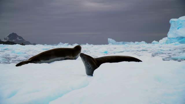 crabeater seal  (lobodon carcinophaga) - 南極点点の映像素材/bロール