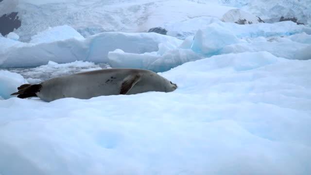 crabeater seal  (lobodon carcinophaga) - アザラシ点の映像素材/bロール