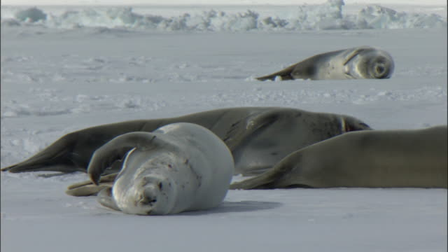 WS Crabeater seals (Lobodon carcinophagus) hauled out on ice / Snow Hill Island, Antarctic Peninsula, Antarctica