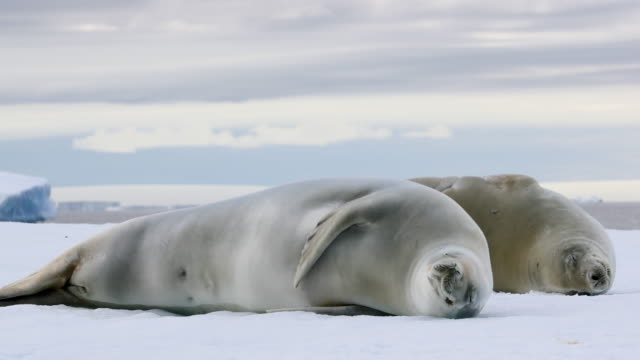 crabeater seals on an ice floe - seal animal stock videos and b-roll footage