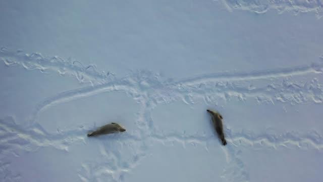 crabeater seals - アザラシ点の映像素材/bロール