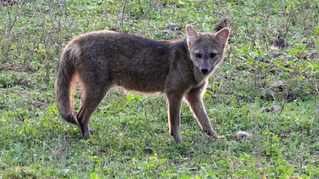 crab-eating fox, pantanal, brazil - feeding stock videos & royalty-free footage