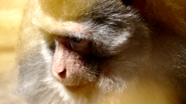 crab-eating macaque - macaque stock videos & royalty-free footage