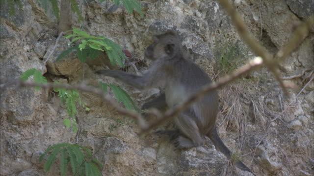 crab-eating macaques clambers over rocks.  - 一匹点の映像素材/bロール