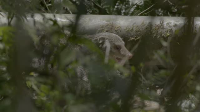 crab-eating mongoose eating - foraging stock videos & royalty-free footage