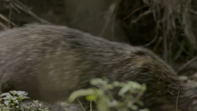 crab-eating mongoose looking and sniffing around - foraging stock videos & royalty-free footage