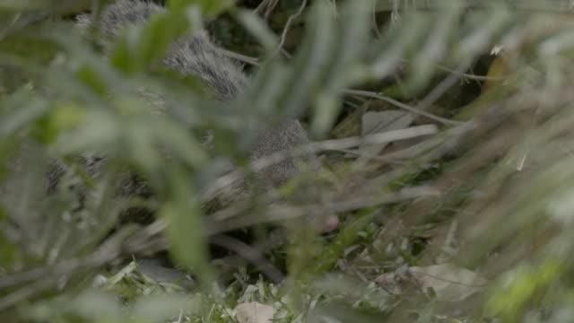 crab-eating mongoose sniffing around - foraging stock videos & royalty-free footage