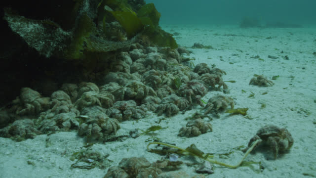 crabs congregate on sea bed, falkland islands - living organism stock videos & royalty-free footage