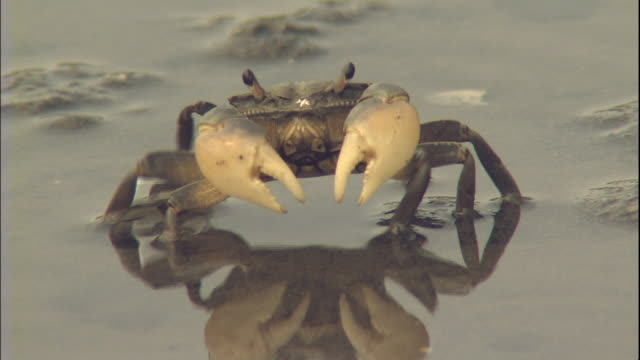 Crabs crawl around the tidal flats in Tokyo Bay.