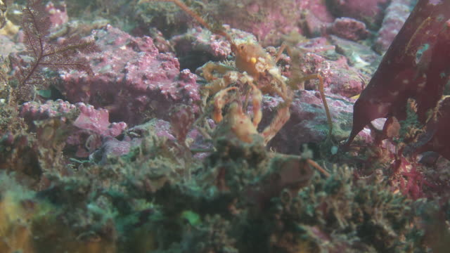 Crabs fighting on coral-covered sea floor