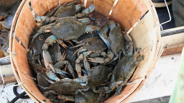 cu crabs in bucket / mobile bay, alabama, usa  - alabama video stock e b–roll