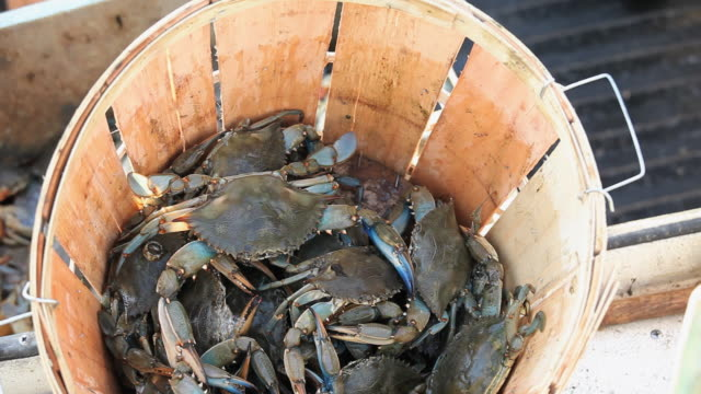 CU Crabs in bucket on boat / Mobile Bay, Alabama, USA