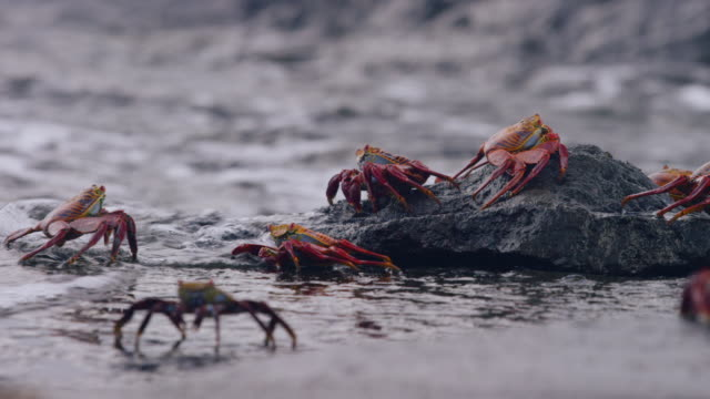 crabs in the galapagos - krabbe stock-videos und b-roll-filmmaterial