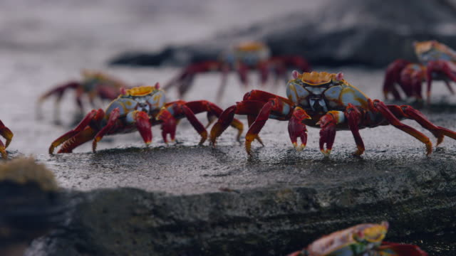 crabs in the galapagos - galapagos islands stock videos & royalty-free footage