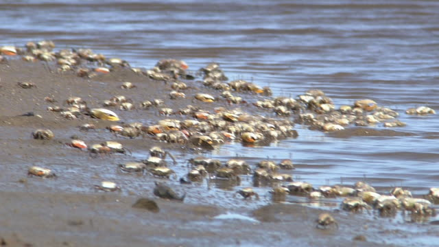 Crabs On Mudflat