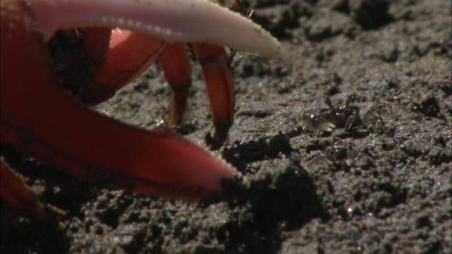 crabs scuttle across a beach. - zuschnappen stock-videos und b-roll-filmmaterial