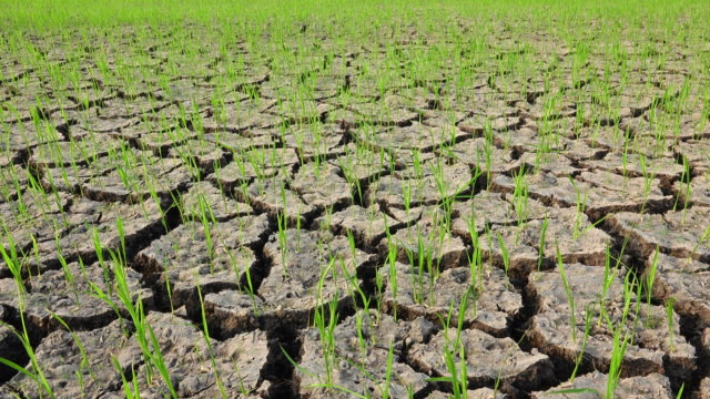 Cracked of dirt in rice field