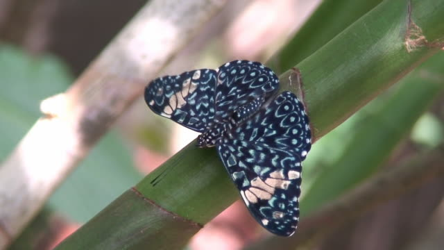 stockvideo's en b-roll-footage met cracker butterfly on a branch - voelspriet