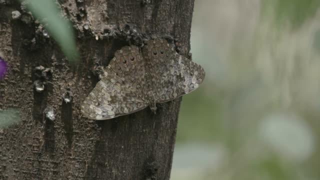 vídeos de stock e filmes b-roll de cracker butterfly on tree trunk. - casca de árvore