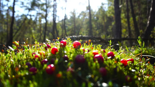 Cranberries on the marsh