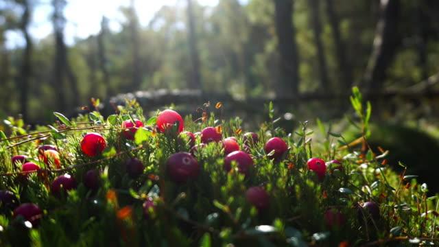 Cranberries on the marsh