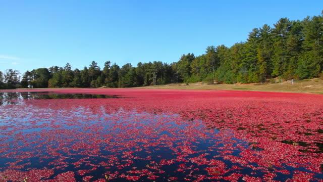 cranberry bog - massachusetts stock videos & royalty-free footage