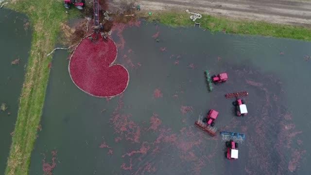 Cranberry harvest season has begun in Belarus
