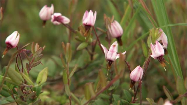 cranberry in sarobetsu plain in hokkaido - cranberry stock videos & royalty-free footage