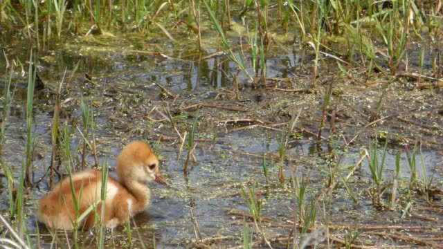 crane chick's first bath - sandhill crane stock videos & royalty-free footage