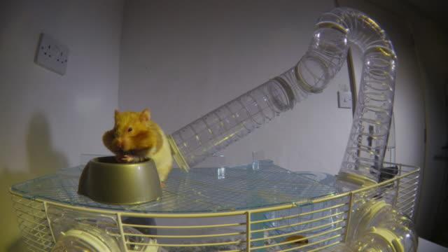 vídeos y material grabado en eventos de stock de ws crane down as pet syrian hamster runs through tube and adds hazelnut to food hoard in foreground - hamster