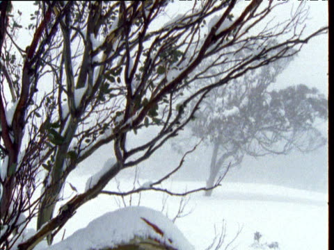 Crane down from branches to twisted patterned trunk of snow gum covered in snow, Australian Alps, Kosciuszko National Park, New South Wales