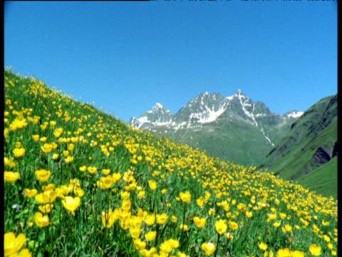 crane down from snowy alps to buttercups in alpine meadow, switzerland - ranunkel stock-videos und b-roll-filmmaterial