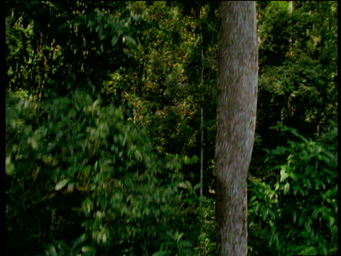 stockvideo's en b-roll-footage met crane down large forest trees to almost camouflaged indian elephant on forest floor, western ghats, tamil nadu - neus van een dier